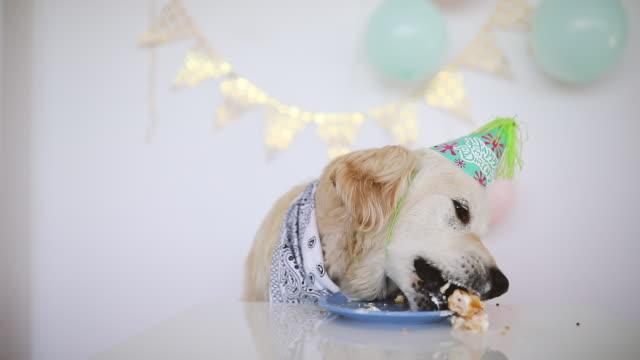 vídeos de stock e filmes b-roll de birthday dog eating cake - dog food