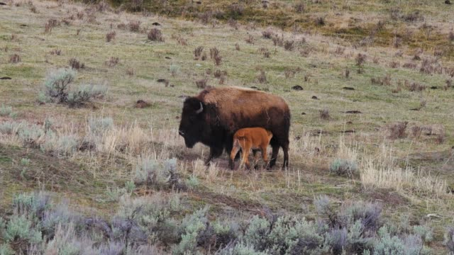 Bison and her Calf