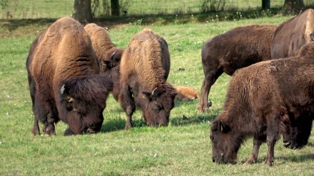 Bison, Bison herd on the pasture, free-range husbandry, Bos bison