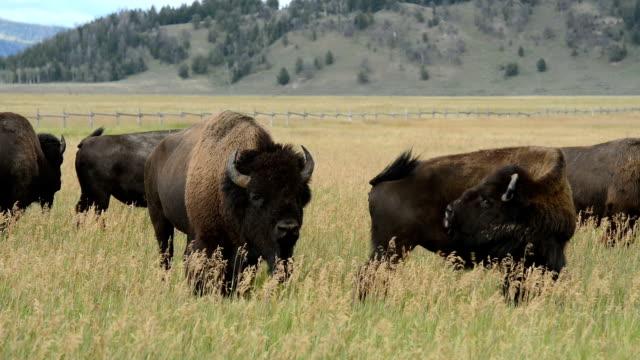 Bison Bull video