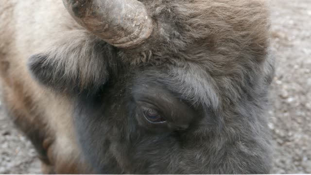 Bison close up from head moving from right to left