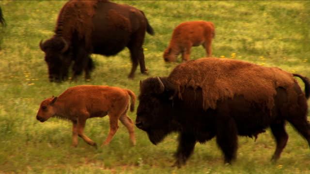 vidéos et rushes de bison paissant sur gazon printanier ranchland avec nursing mollets - veau