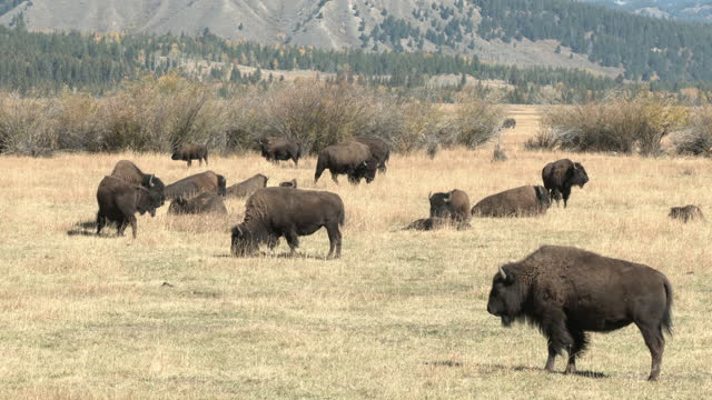 Bison in Fall in Wyoming