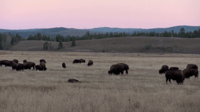 Bison in the Tetons video