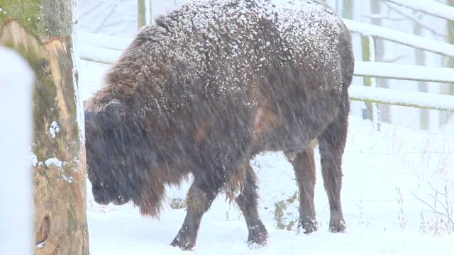 bison video