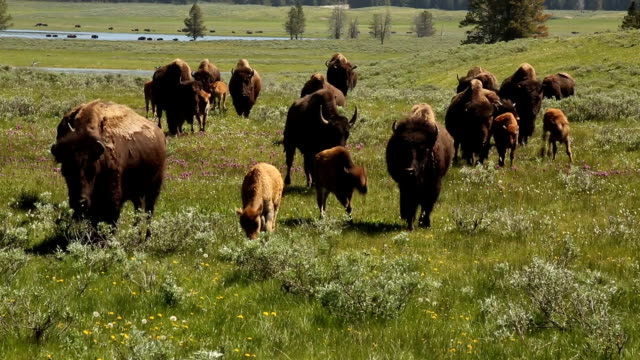Bison Walking Toward Camera: Yellowstone video
