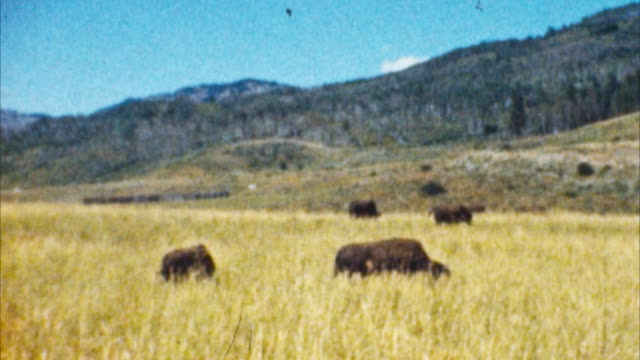 Bison, Yellowstone Park (Archival 1950s)
