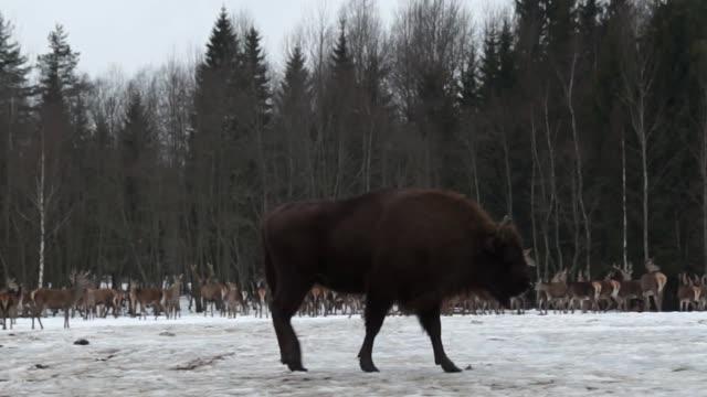 bisons und hirsche - weißrussland stock-videos und b-roll-filmmaterial