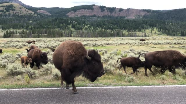 Bisons crossing the street in Yellowstone video