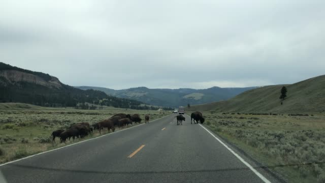 Bisons in Lamar Valley crossing the street in Yellowstone video