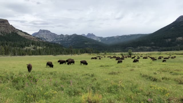 Bisons in Lamar Valley in Yellowstone video