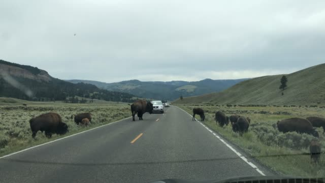 Bisons in Yellowstone video