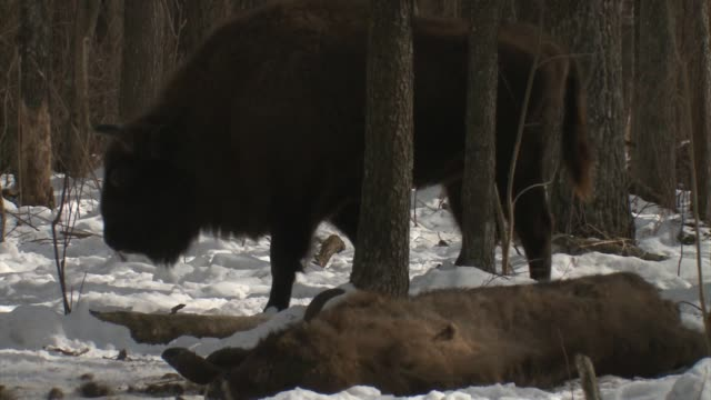 Bisons saw Wolves Pack of wolves eating dead young bison. After few time the big group of bison saw wolves and and began to approach dead bison cub. Belarus, Chernobyl dead animal stock videos & royalty-free footage