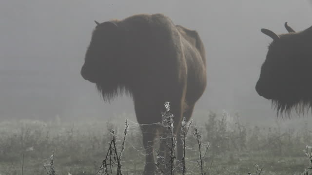 Bisons video