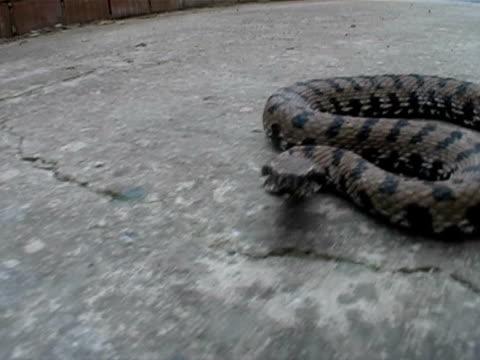 Bite of the snake