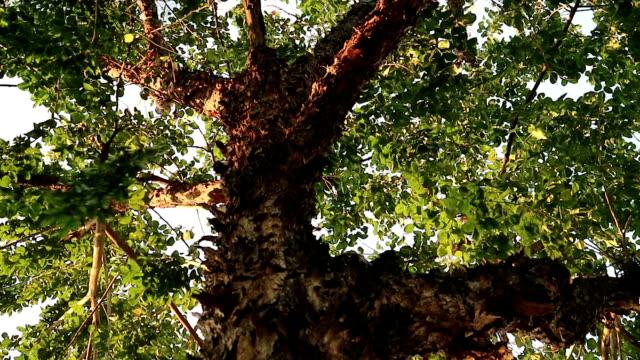 剥離する樹皮を持つ奇妙なモンスター ツリー - 木目点の映像素材/bロール