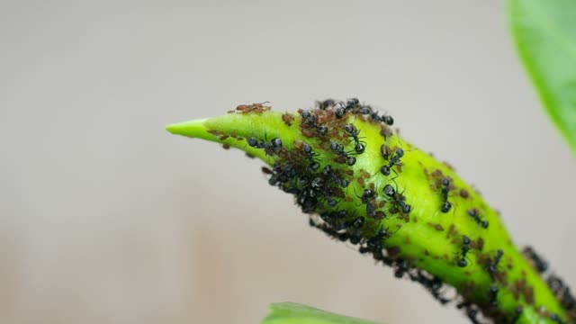 black and and aphid on plant shoot video