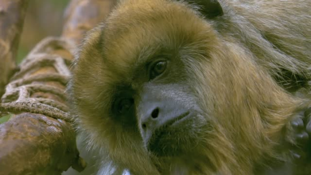 Black and brown howler monkeys- pan left close up video