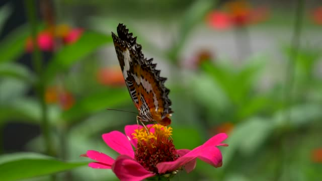 Black and orange butterfly flying away from pink flower after feeding. Slow motion