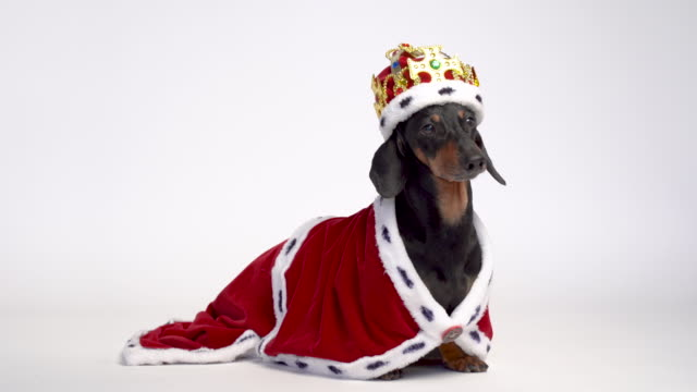 Black and tan adorable dachshund dog dressed in a red royal mantle and a crown on white background