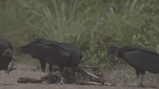 black and turkey vuluture