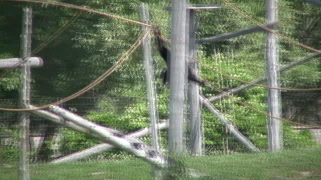scimmia guereza scimmia swing attraverso alberi (alta definizione - oscillare video stock e b–roll