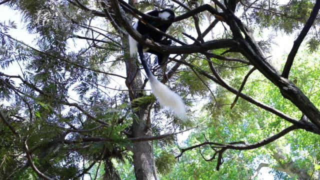 'Black And White Colobus Monkeys' are climbing the tree in Ethiopia 'Black And White Colobus Monkey' in Ethiopia mammal stock videos & royalty-free footage