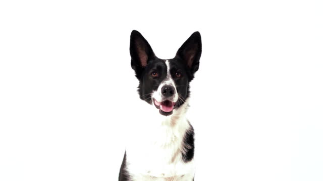 A black and white color dog is following orders, barking and walking out of a shot in the studio on a white background. Dog training concept. Prores 422