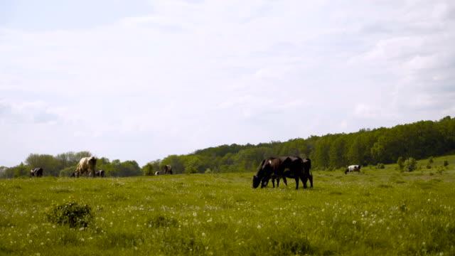 vidéos et rushes de vaches noires et blanches dans un domaine herbeux frôlant sur le pâturage. 4k - sky
