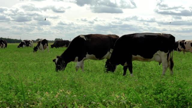 Blanco y negro las vacas en un campo de hierba de pastoreo en pasto. - vídeo