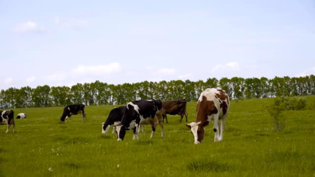 オランダ4kのアメルスフォールト近くの青い空の下で緑の草原の黒と白の牛 - 牧畜場点の映像素材/bロール