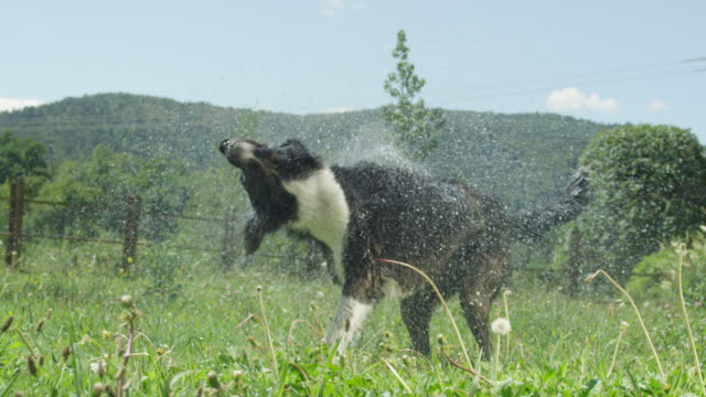 slow motion close up: black and white dog drying off after wet playtime in field - border collie video stock e b–roll