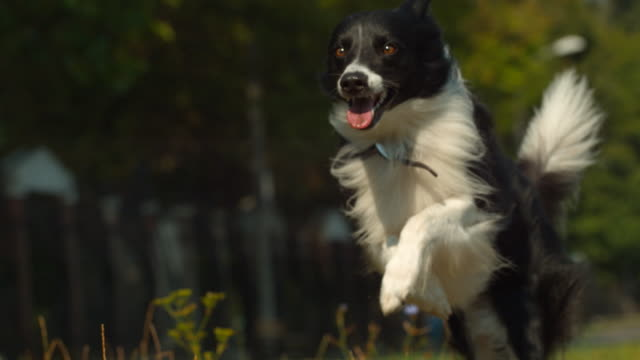 black and white dog running, ultra slow motion - border collie video stock e b–roll