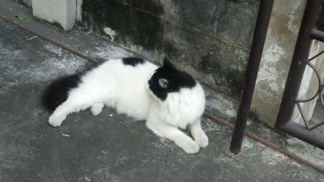 svart och vit inrikes katt läggning på våning - morrhår bildbanksvideor och videomaterial från bakom kulisserna