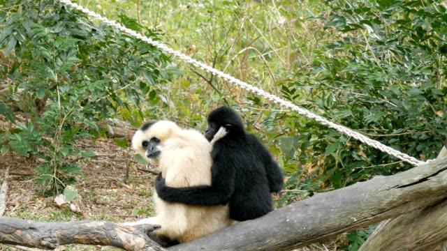 gibbone bianco e nero sono seduti sul ramo. gibbone nero che abbraccia il bianco - gibbone video stock e b–roll