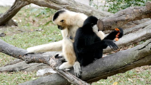 svart och vitt gibbon sitter på gren - djurarm bildbanksvideor och videomaterial från bakom kulisserna