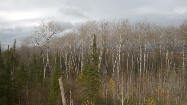 AERIAL: Black and white naked birch tree canopies in leafless autumn forest video