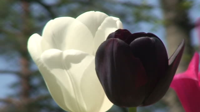 Black and white tulips Colorful tulips in a garden tulip stock videos & royalty-free footage
