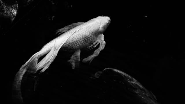 stockvideo's en b-roll-footage met zwart-wit video van lange staart wit koi vissen - carp