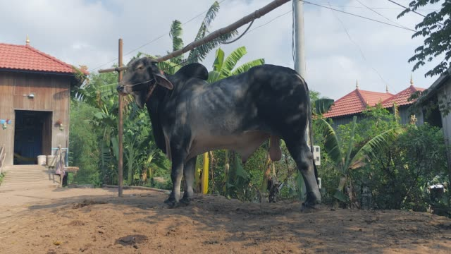 black and white zebu tied up with rope in a farm ( close up) - giovenca video stock e b–roll