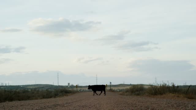 A Black Angus Cow Crosses a Dirt Road in Florence, Colorado (Fremont County) under a Partially Cloudy Sky