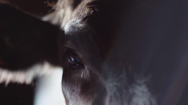 vídeos de stock e filmes b-roll de black angus cow in old stable 4 - beef angus