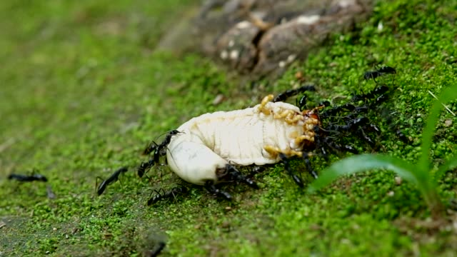 czarny ant hunt ulowego larwa - zachowanie zwierzęcia filmów i materiałów b-roll