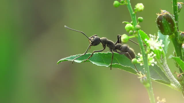 Black ant on a flower video