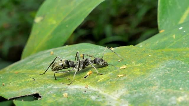 熱帯雨林の葉の黒アリ。 - 生態系点の映像素材/bロール
