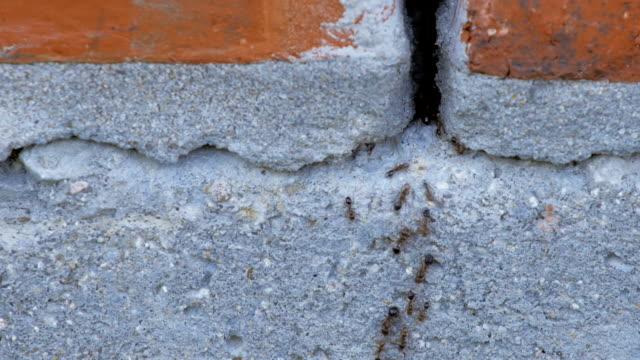 黒アリが家の壁に亀裂を介してクロール - セメント点の映像素材/bロール