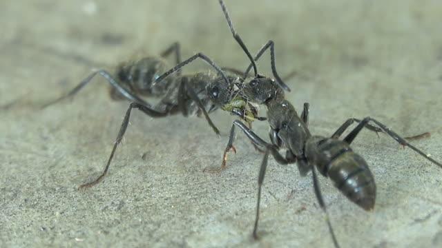 vídeos de stock e filmes b-roll de black ants fighting on the floor - mosaicos flores