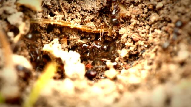 black ants in the nest 4k video