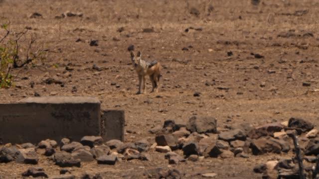 Black backed jackal in the distant Heat haze heat haze stock videos & royalty-free footage