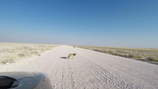 黒砂利道、日光の下でサファリ車から見たバックアップ ジャッカル。エトーシャ国立公園、ナミビア、アフリカの主要な旅行先です。 ビデオ